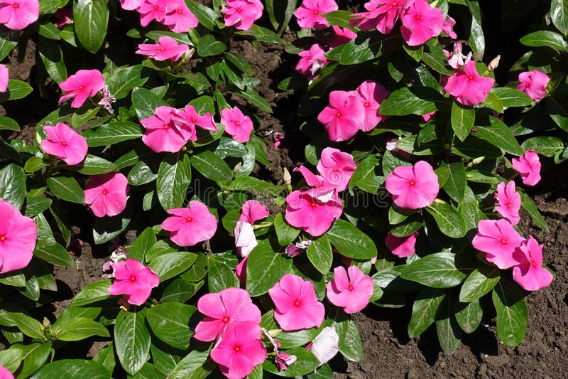 Weelderig gebladerte en roze bloemen van Catharanthus-roseus stock afbeelding