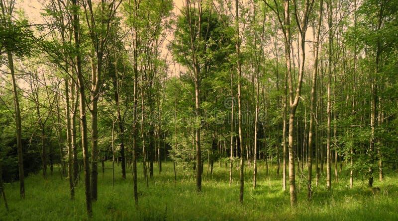 Weelderig groen bos op de lentedag stock afbeeldingen