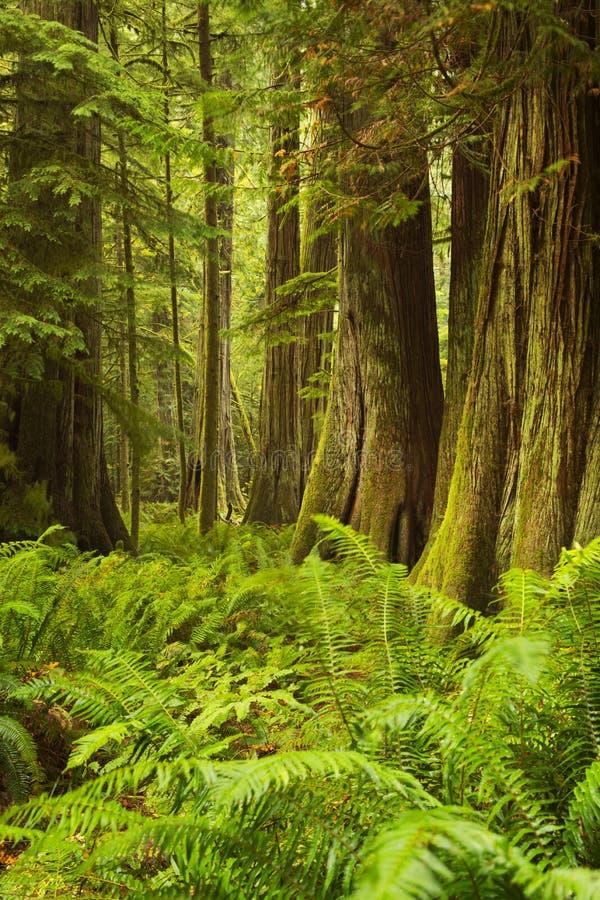 Weelderig regenwoud in Kathedraalbosje, het Eiland van Vancouver, Canada stock fotografie