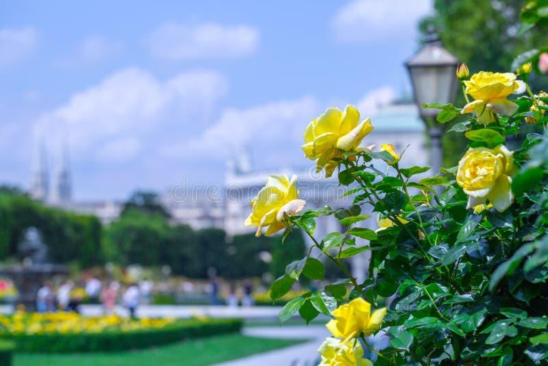 Weelderige bloeiende gele rozen in roze tuin Volksgarten( people' s park) in Wenen, Oostenrijk royalty-vrije stock foto