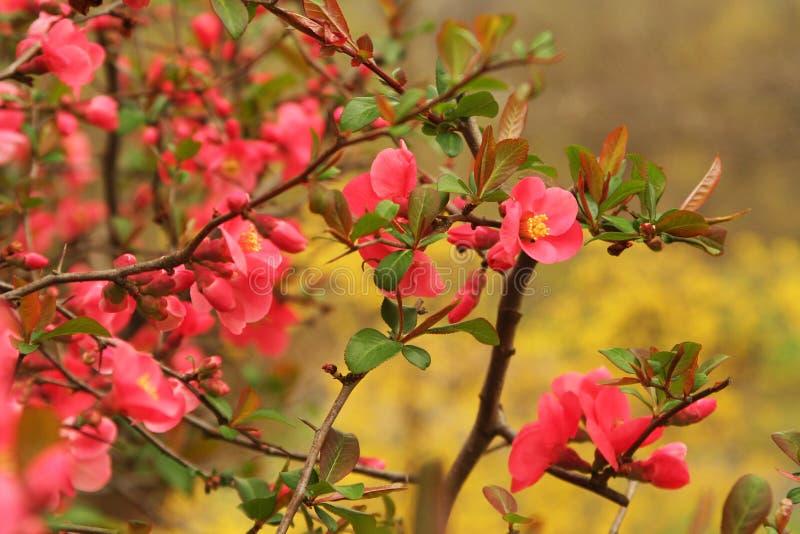 Weelderige bloeiende kweepeer in volledige bloei in de vroege lente stock afbeelding