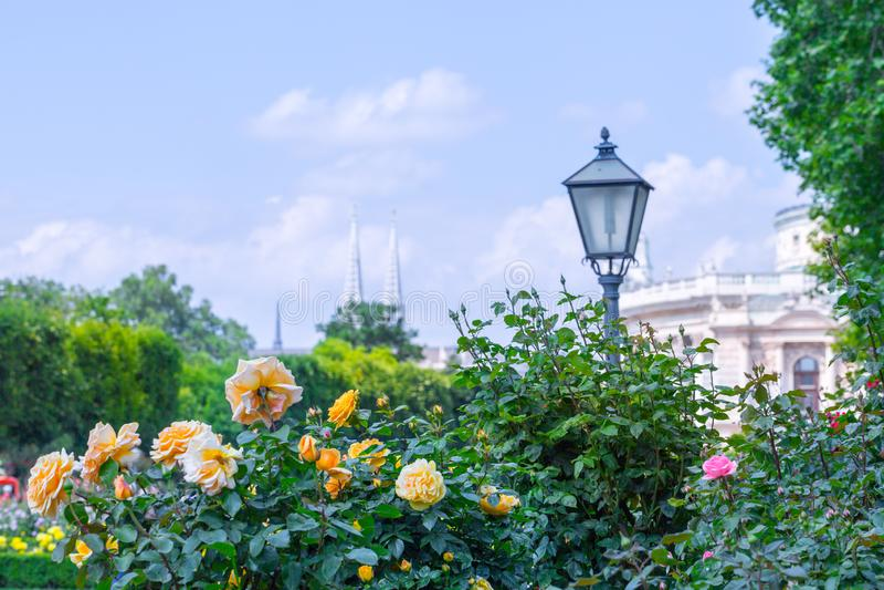 Weelderige bloeiende oranje rozen in roze tuin E stock fotografie