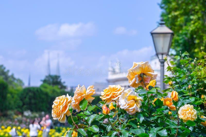 Weelderige bloeiende oranje rozen in roze tuin Het park van Volksgartenpeople in Wenen, Oostenrijk royalty-vrije stock foto's