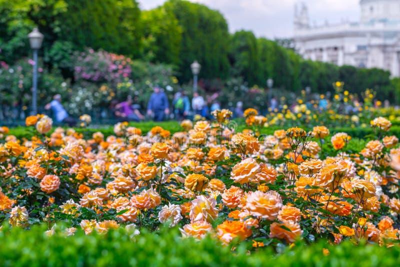 Weelderige bloeiende oranje rozen in roze tuin Volksgarten( people' s park) in Wenen, Oostenrijk royalty-vrije stock fotografie