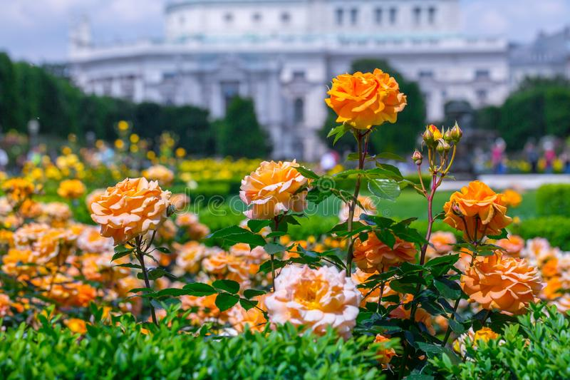 Weelderige bloeiende oranje rozen in roze tuin Volksgarten( people' s park) in Wenen, Oostenrijk stock afbeelding