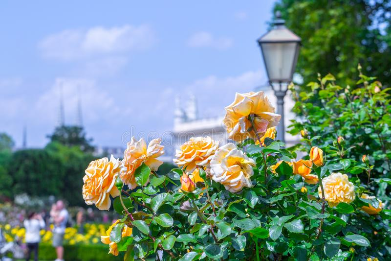 Weelderige bloeiende oranje rozen in roze tuin Volksgarten( people' s park) in Wenen, Oostenrijk royalty-vrije stock foto's