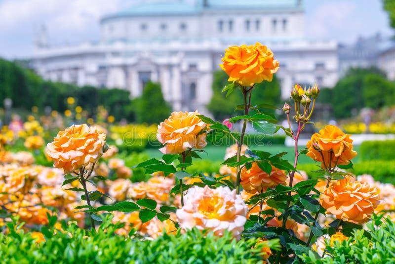 Weelderige bloeiende oranje rozen in roze tuin Volksgarten( people' s park) in Wenen, Oostenrijk stock afbeeldingen