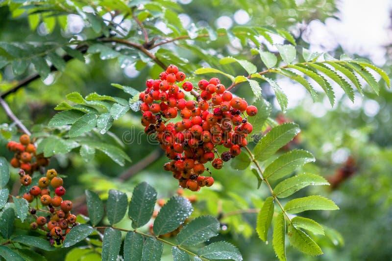 Weelderige bossen van rijpe rode ashberry tijdens de gouden herfst stock afbeelding