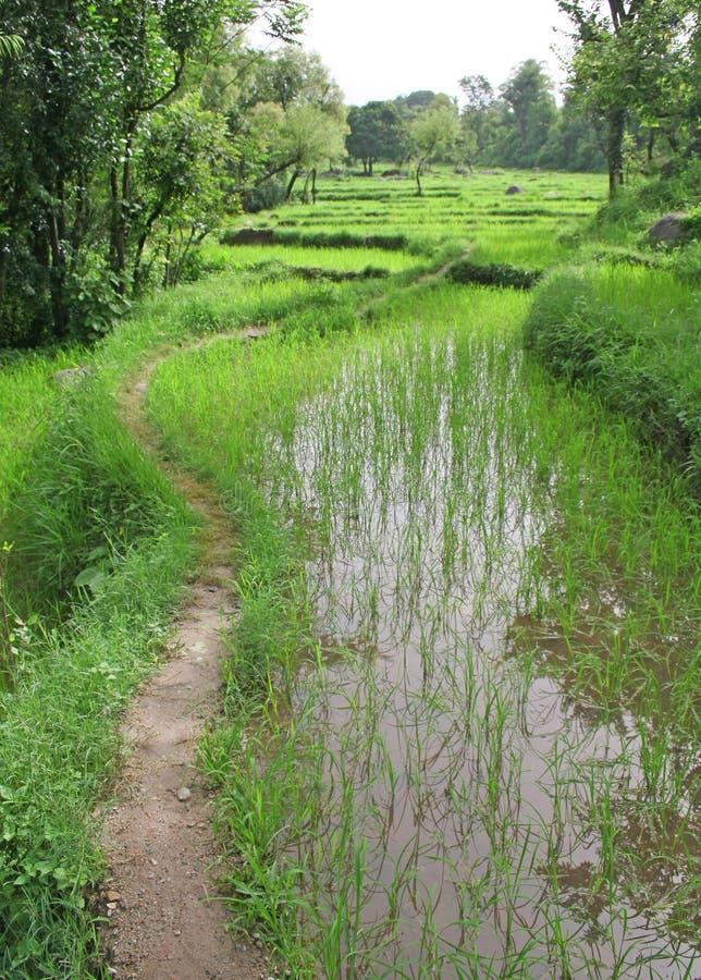 Weelderige groene padievelden & padiecultuur royalty-vrije stock afbeeldingen