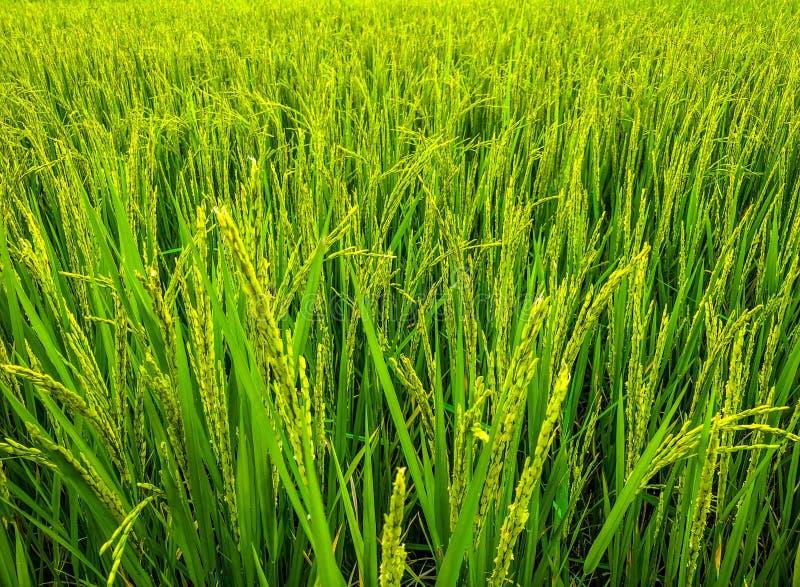 Weelderige groene padievelden, kleine van nature gecultiveerde percelen royalty-vrije stock fotografie
