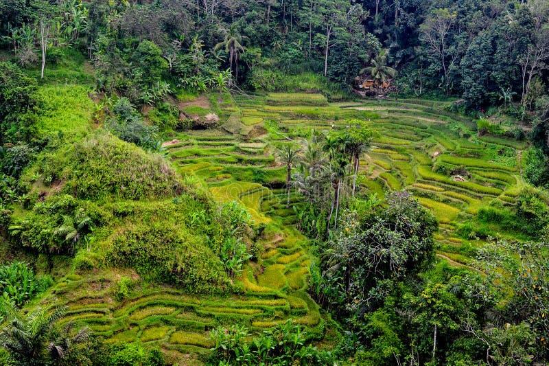 Weelderige groene terrasvormige landbouwgrond in Bali royalty-vrije stock foto's