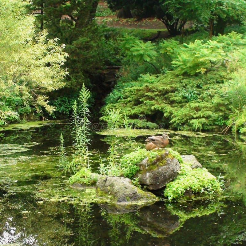Weelderige groene vijver in het hoge park van Toronto stock afbeelding