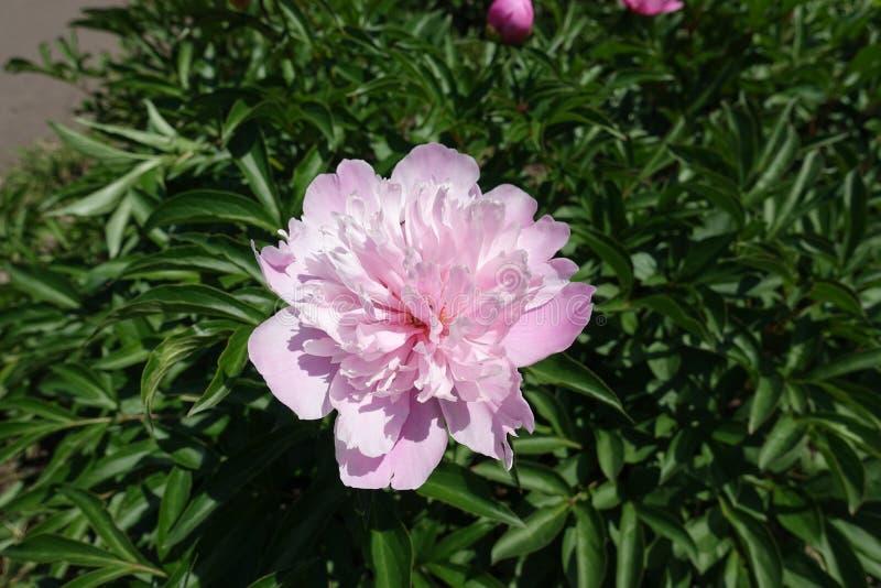 Weelderige roze bloem van pioen in de lente stock afbeeldingen