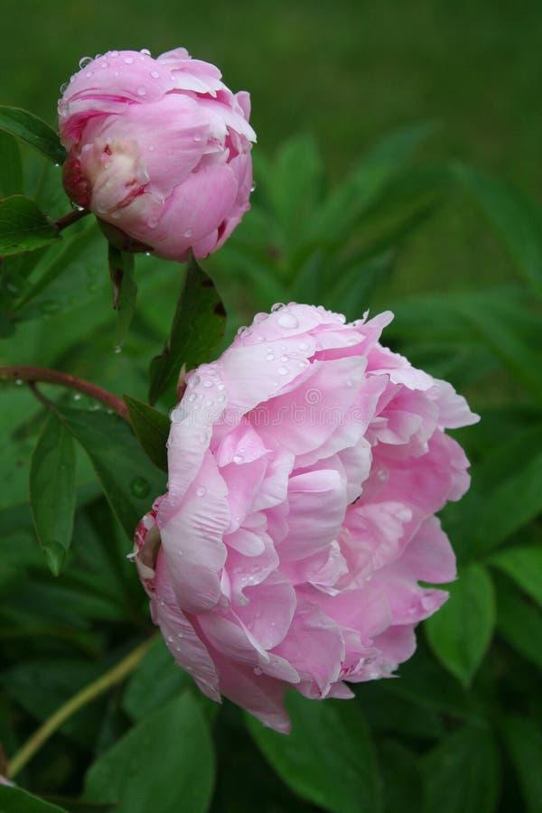 Weelderige roze pioenbloesems na een de lenteregen stock afbeeldingen