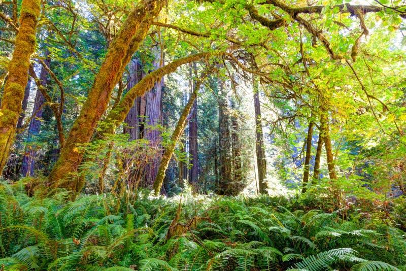 Weelderige understory luifel in Californische sequoiabos stock fotografie