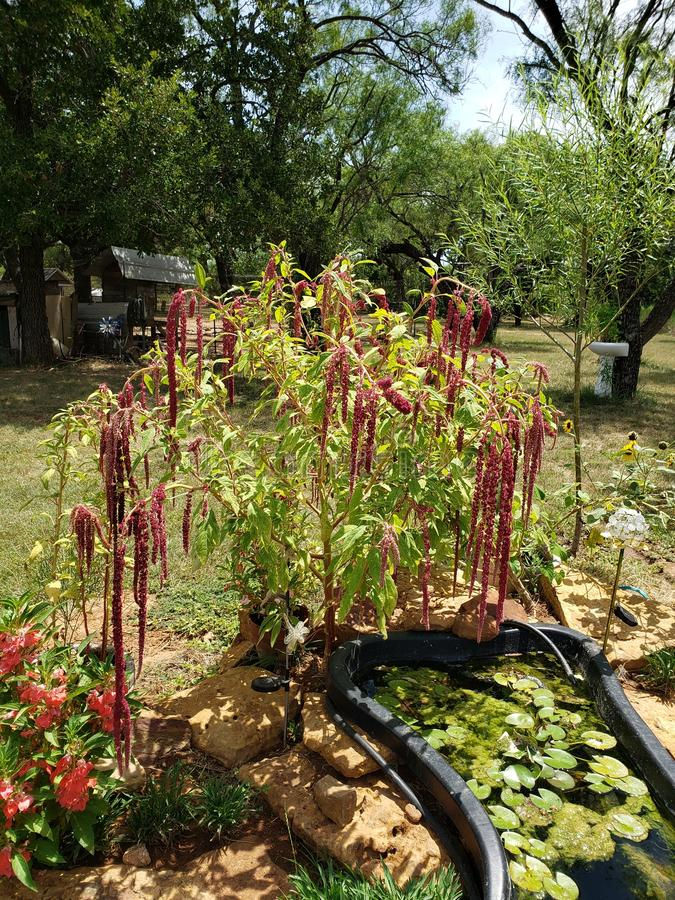 Weep in the breeze red amaranth. Pond stock images