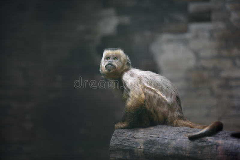 Weeper capuchin monkey. Young weeper capuchin monkey looking up stock photography