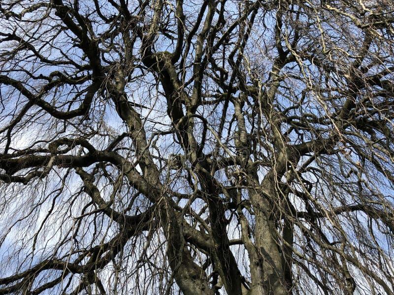 The weeping beech Fagus sylvatica Pendula or Trauerbuche, Villa Boveri, Baden stock photos