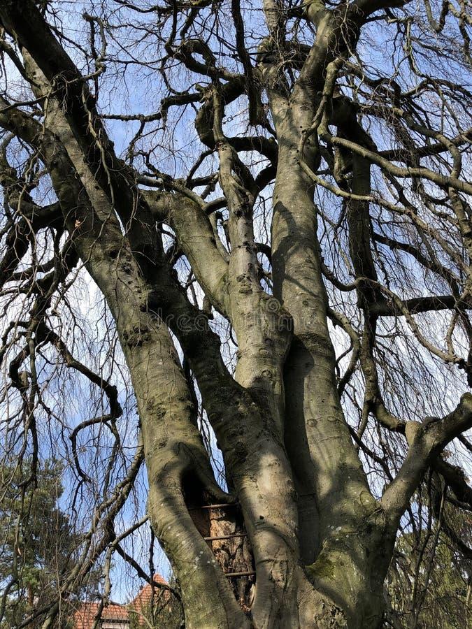 The weeping beech Fagus sylvatica Pendula or Trauerbuche, Villa Boveri, Baden royalty free stock image