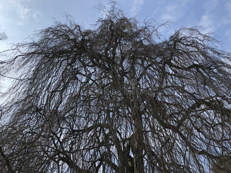 The weeping beech Fagus sylvatica Pendula or Trauerbuche, Villa Boveri, Baden royalty free stock photos