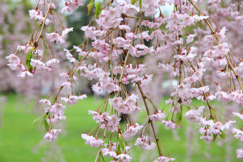Download Weeping cherry stock photo. Image of park, sightseeing - 25391534