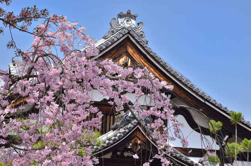 Weeping cherry blossom and temple, Kyoto Japan. Flowering cherry blossom in Buddhist temple garden, landscape of spring in Kyoto Japan stock photos