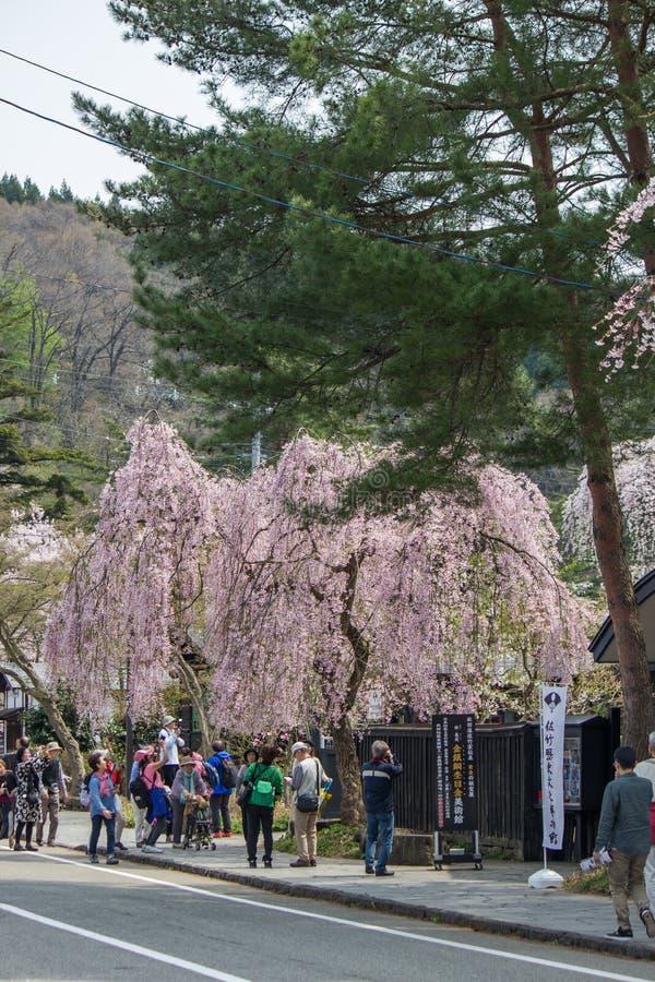Weeping cherry blossomsShidarezakura at Morioka castle ruins parkIwate Park,Iwate,Tohoku,Japan.selective focus. Morioka Castle Ruins ParkIwate Park situated in stock photos
