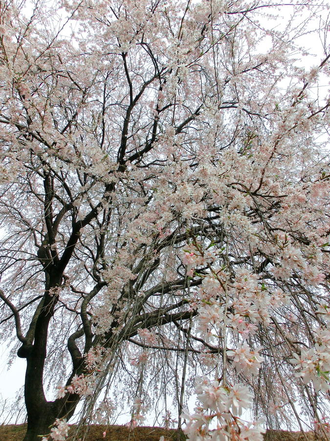 Download Weeping cherry stock image. Image of weeping, april, white - 30716005
