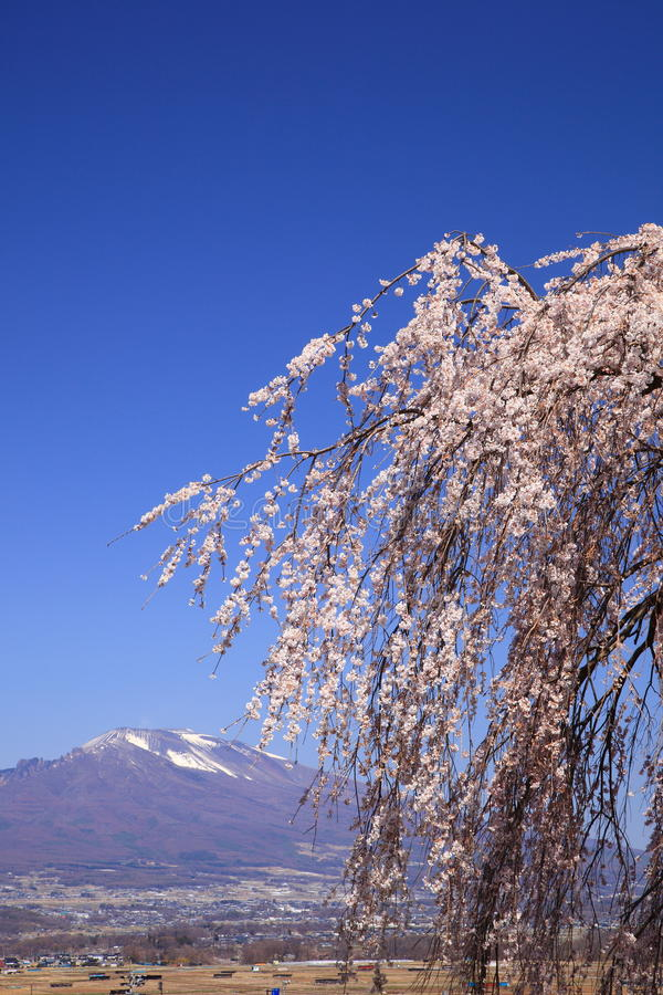 Weeping cherry tree and mountain. Weeping cherry tree and Mt. Asama, Nagano, Japan royalty free stock images