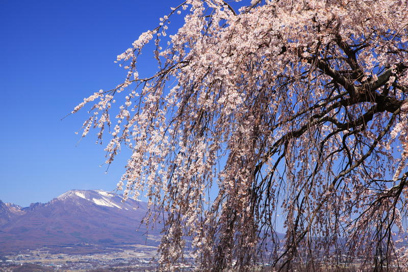 Weeping cherry tree and mountain. Weeping cherry tree and Mt. Asama, Nagano, Japan stock photography