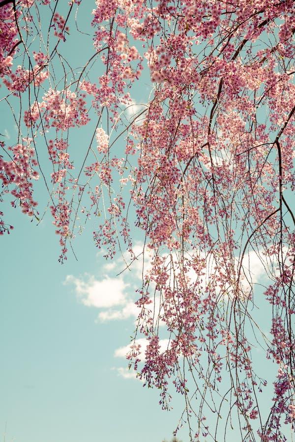 Weeping Cherry Tree stock photos