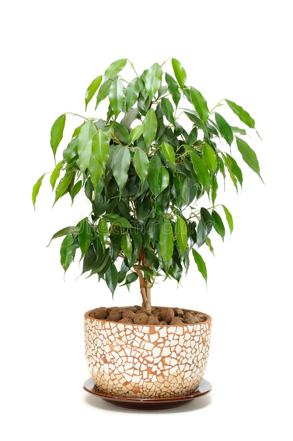 Free Weeping Fig (Ficus Benjamina) In Pot Stock Photos - 18877453
