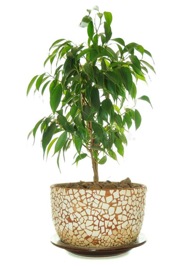 Weeping Fig (Ficus Benjamina) in Pot stock image
