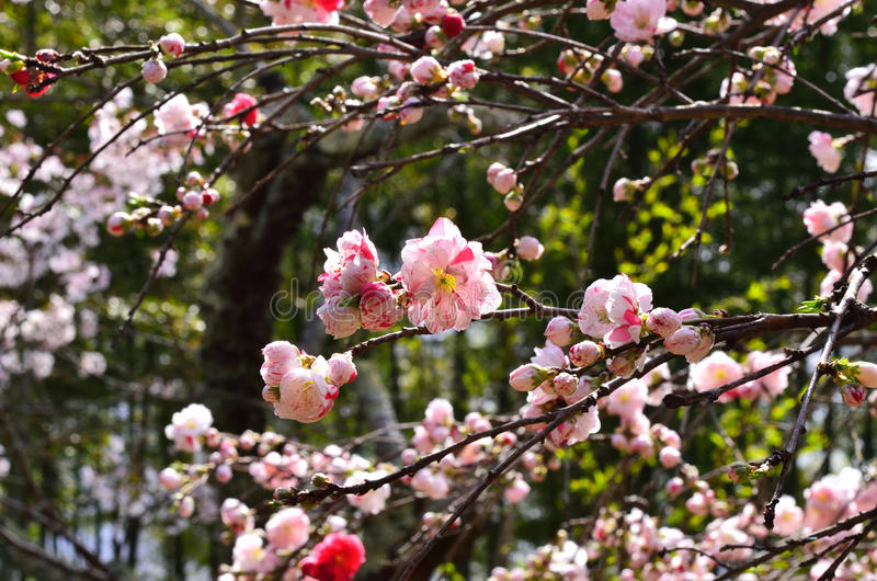 Download Weeping Peach Flowers At Japanese Garden, Kyoto Japan Stock Image    Image: 84914653