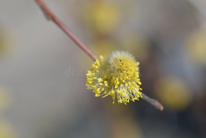Weeping willow. Latin name - Salix caprea stock photography