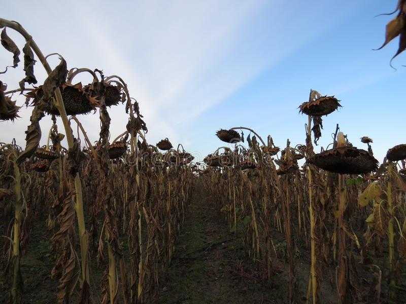 Weeping sunflowers. The passing of their life, thousands and thousands of sunflowers gone from this year stock images