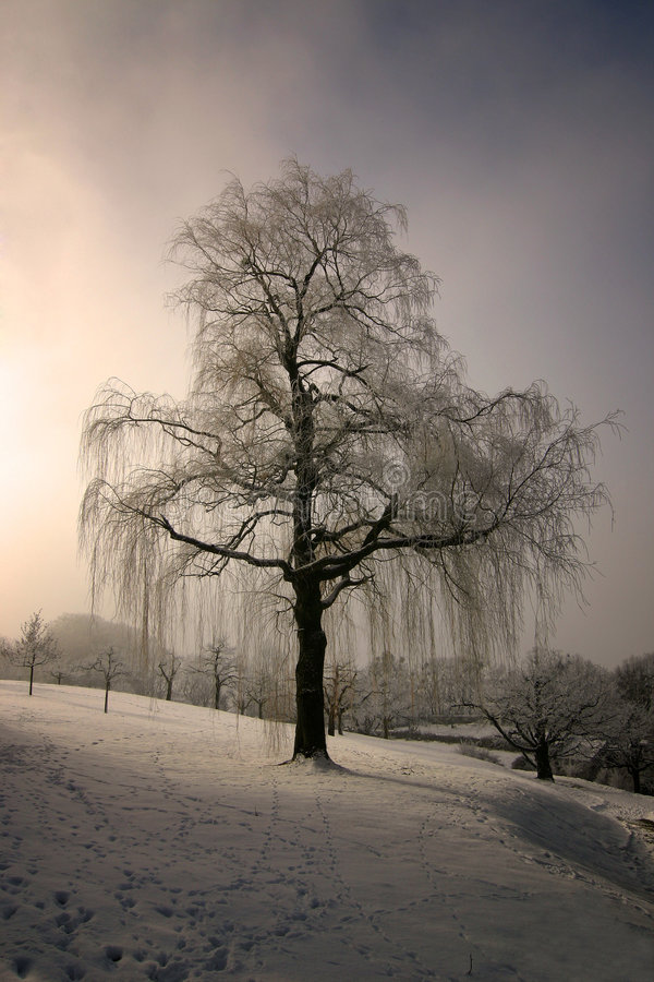 Free Weeping Willow 1 Stock Photography - 454102