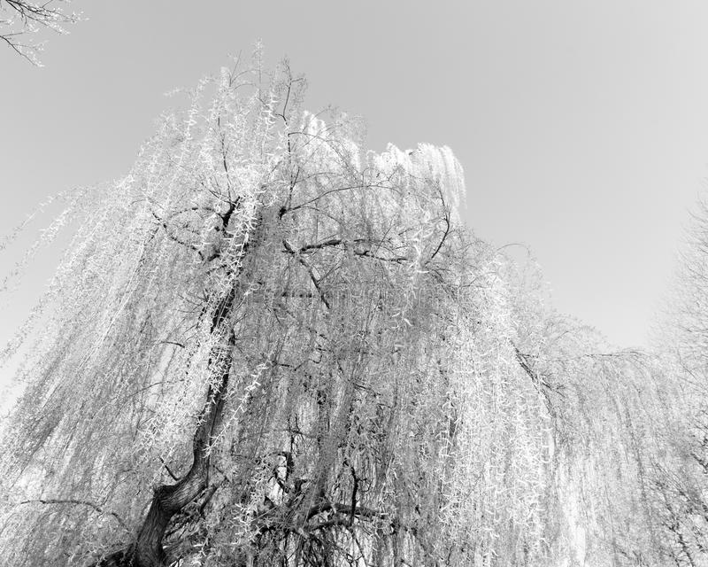 Download Weeping Willow stock photo. Image of nature, tree, flora - 27265522