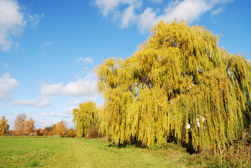Weeping Willow royalty free stock photo
