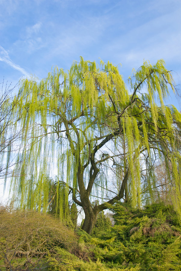 Free Weeping Willow Royalty Free Stock Photography - 8666217