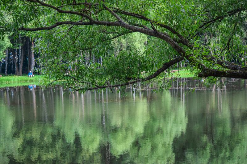 Weeping willow bent over the water. The weeping willow bowed over the waters of the lake of the city Park, admiring his reflection stock images
