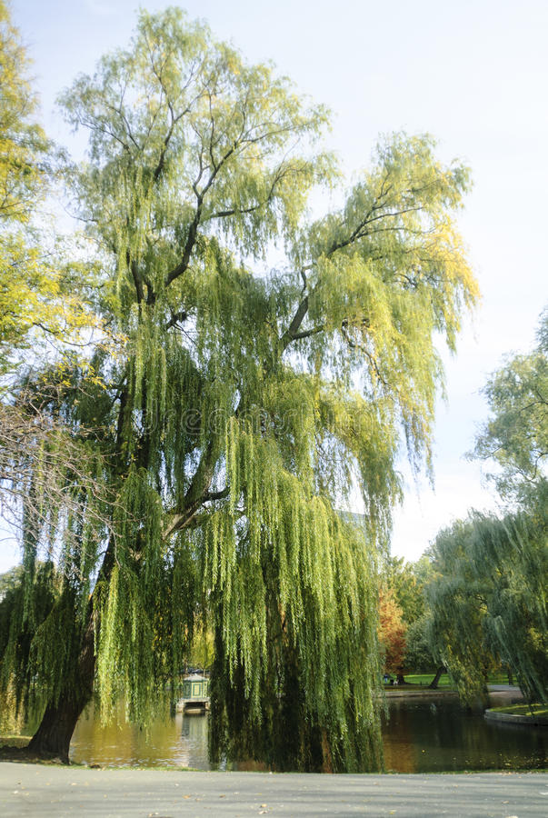 Weeping willow Boston Common. Huge weeping willow leans over pond on Boston Common royalty free stock photos