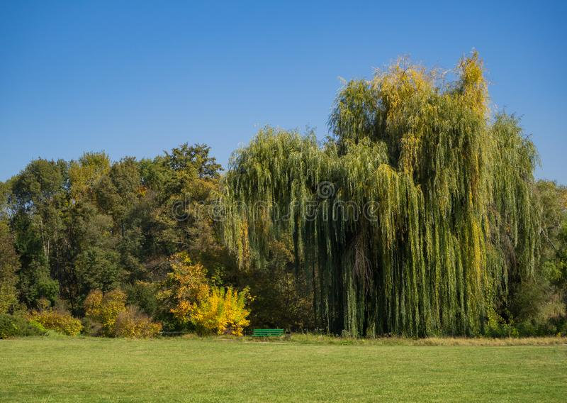Weeping willow in a clearing in the autumn Park. stock photo