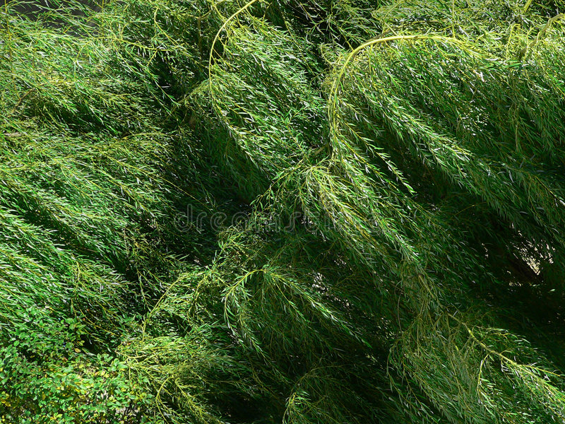 Weeping Willow Foliage royalty free stock photo