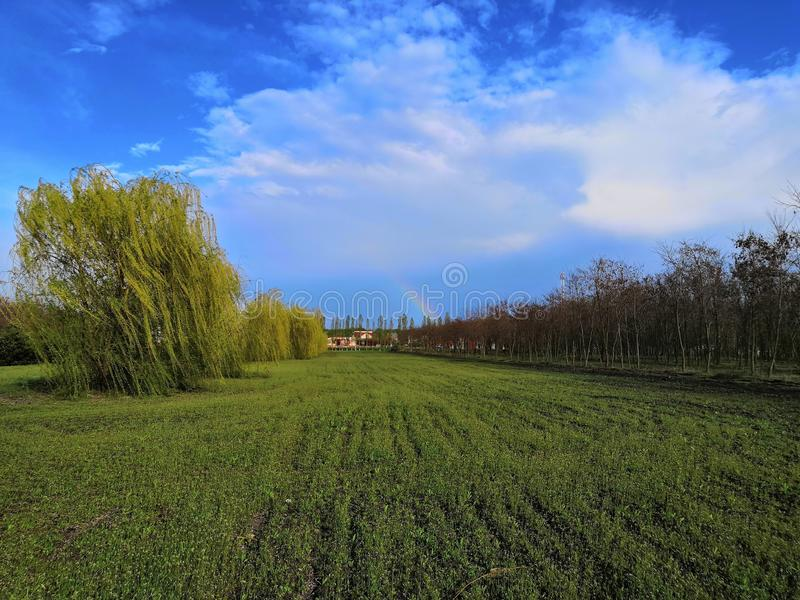 Weeping willow in the garden. On the blue sky front stock image