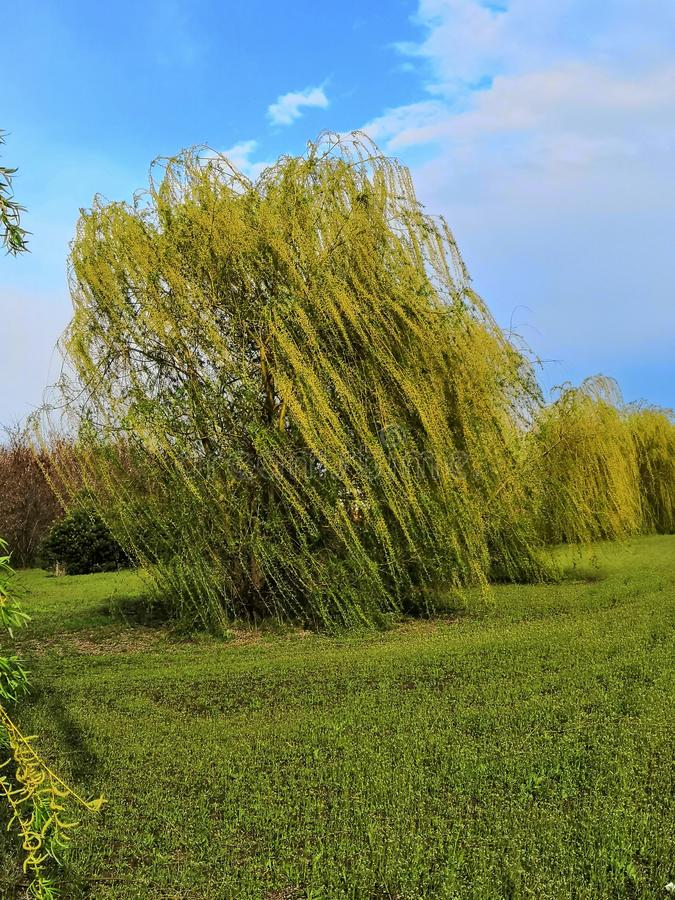 Weeping willow in the garden. On the blue sky front royalty free stock images