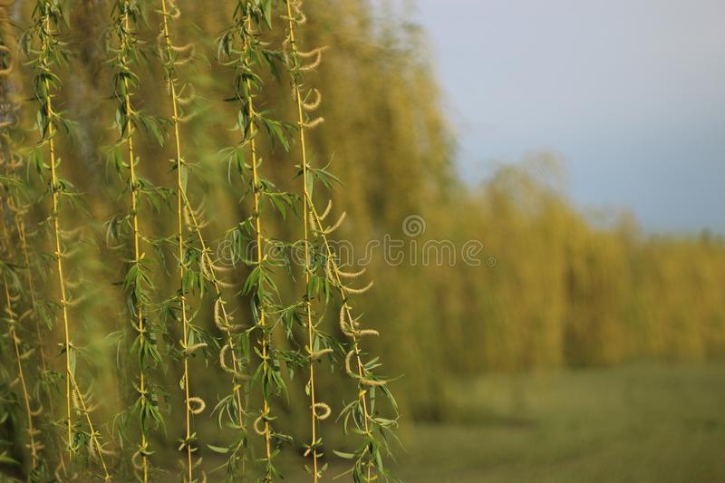 Weeping willow in a garden. Close up against a green field stock photo
