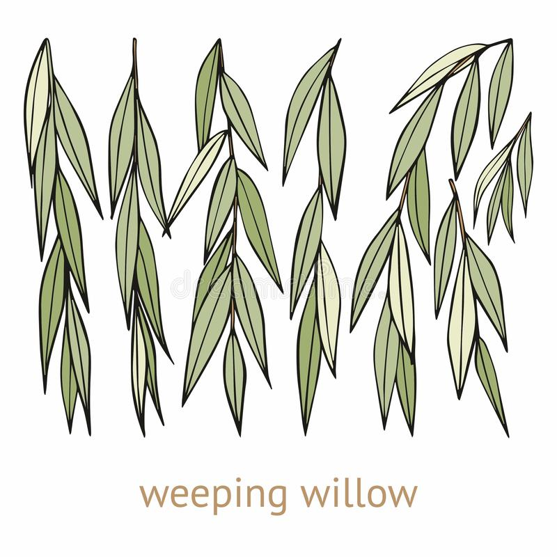 Weeping willow. Hand drawing. Set of vector illustrations vector illustration