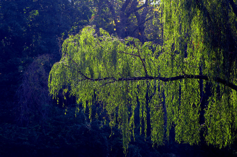 Weeping Willow Hanging Branch royalty free stock photos