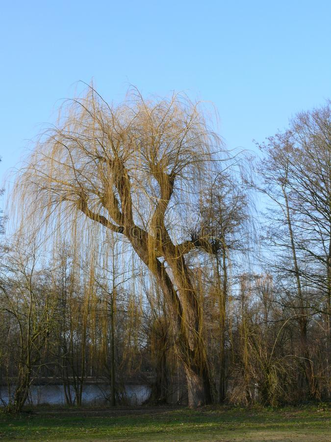 Weeping willow at a lake. A leaveless weeping willow in autumn royalty free stock image